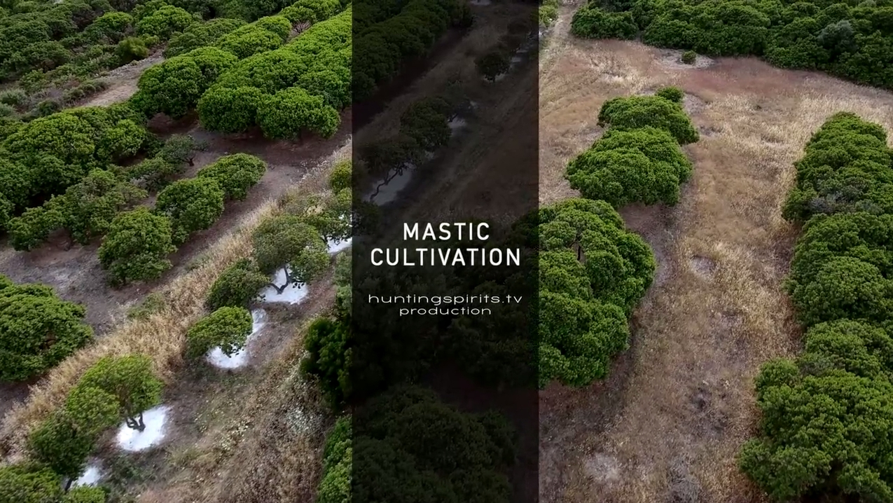 mastic cultivation